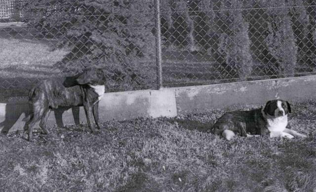 Znaleziono dwa duże psy